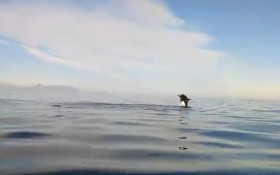 WATCH: Beautiful orcas playing at Cape Point