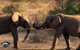 Elephants Play Fighting in the Kruger National Park