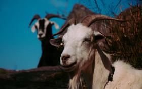 [WATCH] Goat yoga is killing stress for this Swedish community