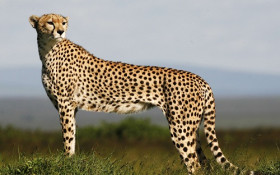Cheetah research discovery throws light on new way to monitor sports performance