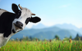 Invest in cattle and 'earn between 13% and 15%'. Got R500? No farming required