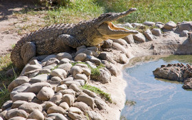 WC tour guide killed in crocodile attack