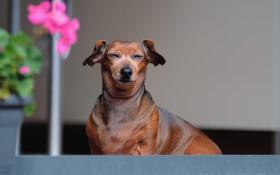 摇头头's Prank: Finding a new home for Mr Sweet Sausage Dog