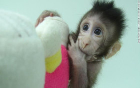 We're not monkeying around – the first primates have been cloned in China