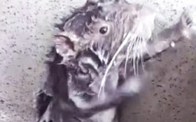 Trending on Twitter: The showering rodent