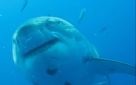 Possibly the Biggest Great White Caught On Camera