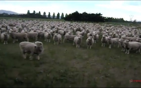 Sheep Protest