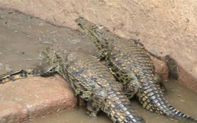Bonnievale当局继续搜索逃离鳄鱼