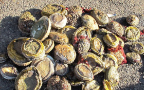 How to keep abalone out of poachers hands and in the sea