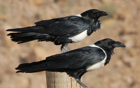 Crows are a huge problem in the Cape