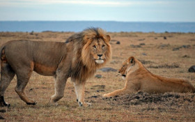 African lion faces extinction threat