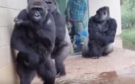 [WATCH] Gorillas in the rain
