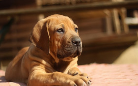 What do you get when you cross a boerboel with a wors hond?