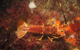 Cape crayfish season kicks off on Saturday