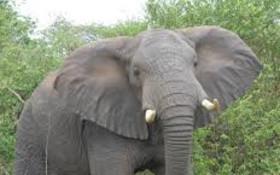 Lone female elephant left wandering through the Knysna forest