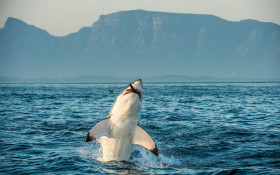 Great White named Helen filmed, for 1st time ever, strategically killing a whale