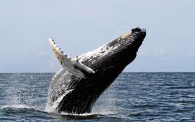 Humpback whales return to Saldanha Bay after 50 year hiatus