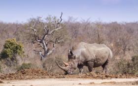 Massive decline in rhino poaching during hard lockdown