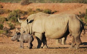 Naked Scientist: 3D printing rhino horns is a good idea but might not work