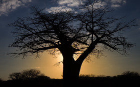 Scientists fear baobabs falling victim to global warming