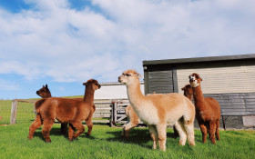 The hilarious relationship between this Aussie farmer and his Alpaca, Patrick
