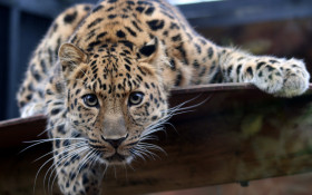 Have you ever spotted a leopard in the Cape?