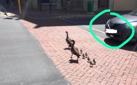 Motorist who killed two goslings has been identified