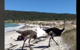 [WATCH] Adorable Cape ostriches join beachgoers for a dip in the ocean
