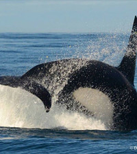 [WATCH] Spectacular sighting of Orca breaching in False Bay on Saturday