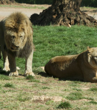 Lions on the loose in Mpumalanga