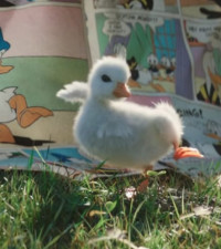[WATCH] This duckling idolising Donald Duck will warm your heart