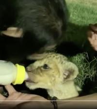 So adorable! Chimpanzee bottle feeds lion cub in heartwarming video