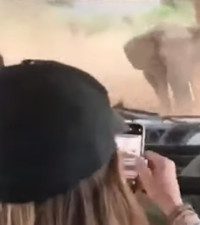 [WATCH] Angry African elephant charges tourists, guide shows mad driving skills