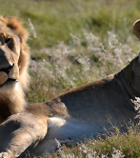 Mpumalanga residents urged to avoid Mananga area after lions escape