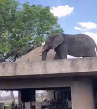 [WATCH] Sabi Sabi elephant takes rooftop stroll to find a snack