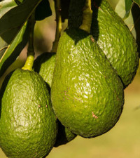 Why avo prices keep soaring