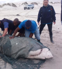 White sharks washed ashore may have been killed by orcas