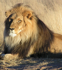 [BREAKING NEWS] Missing Karoo National Park lion has been captured