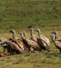 103 Vultures die after eating elephant meat laced with poison