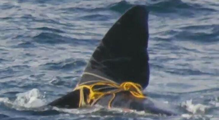 NSRI has freed False Bay whale entangled in ropes
