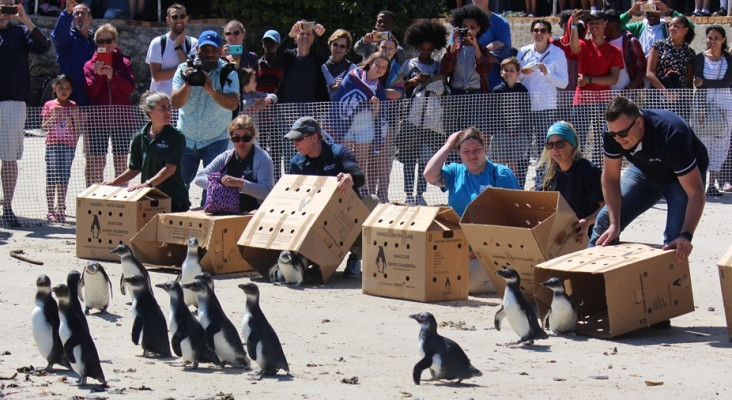 Join SANCCOB's Annual Penguin Festival in Simon's Town