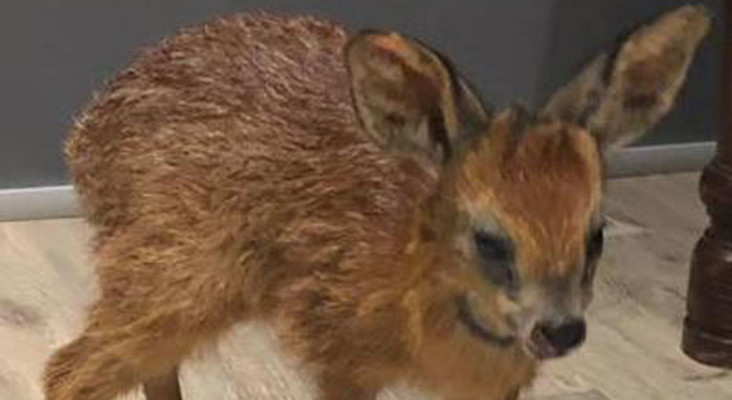 Bambi, the wounded grysbok rescued from Betty's Bay fires, put down