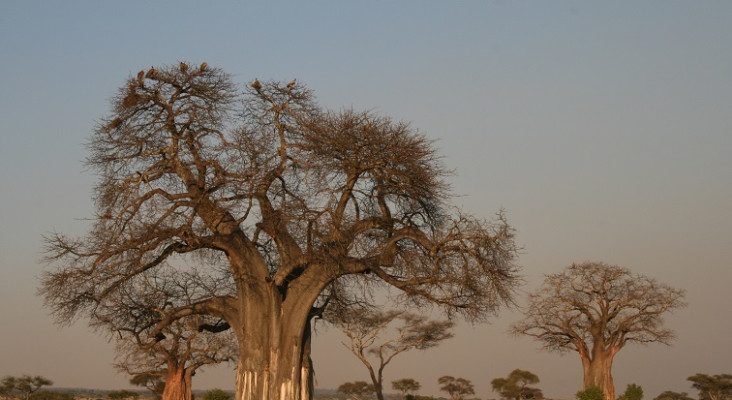 How global warming is wiping out Africa's oldest baobab trees