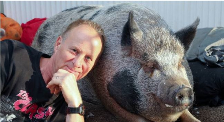 A family's home taken over by a 178 kg pig, goes viral