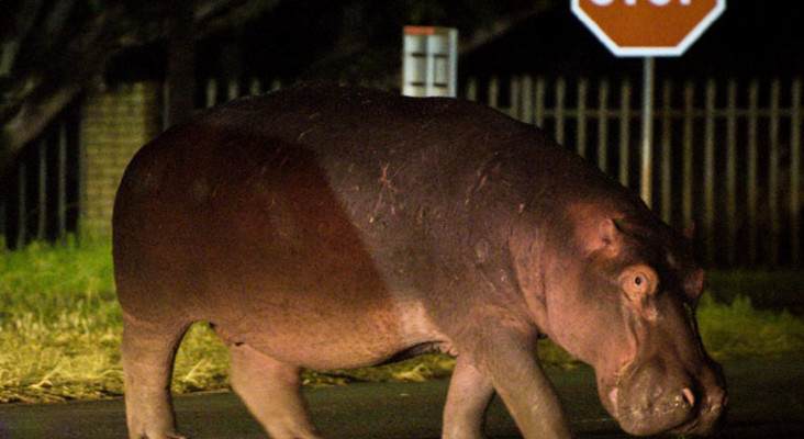 'It's a jungle out there!' - Hippo on the loose in Joburg