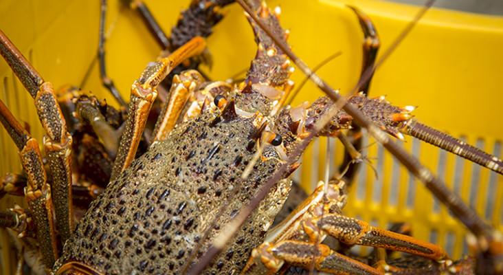Cape crayfish season cut short