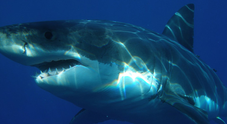 Shark Spotters baffled by bizarre decrease in white sharks in False Bay
