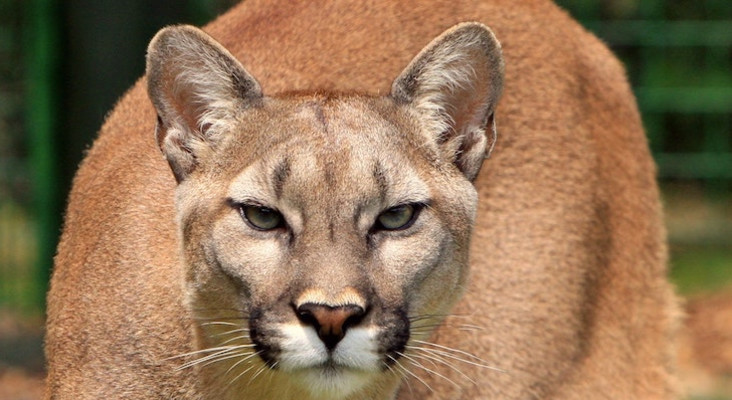 [WATCH] Woman blasts Metallica to scare off a cougar
