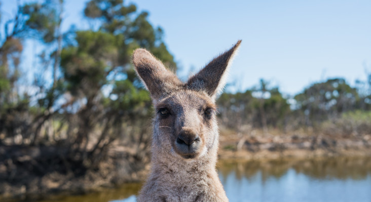 Senseless Survey: Is a kangaroo just a t-rex mixed with a deer?