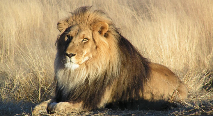 [BREAKING NEWS] Missing Karoo National Park lion has been captured